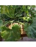 Cultivo de calabacin en mesa de cultivo