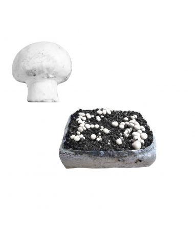 Mini Kit Cultivo Fácil CHAMPIÑONES Agaricus Bisporus