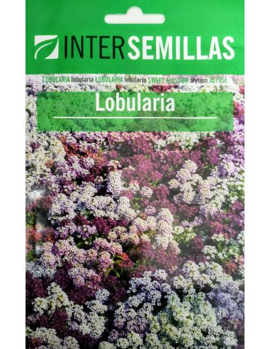 Semillas de Lobularia Aliso de colores variados