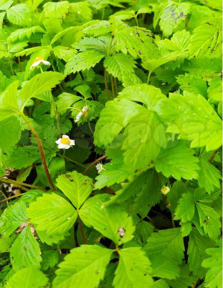 1u. Plantón Fresa Reina de los Valles