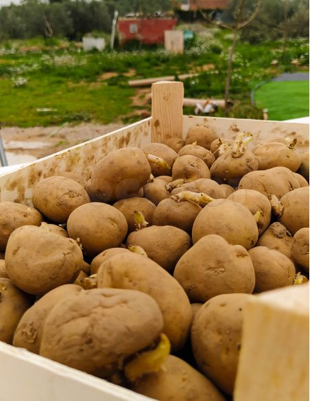 Patata de Siembra Pregerminada RED PONTIAC 3Kg. (100 patatas)