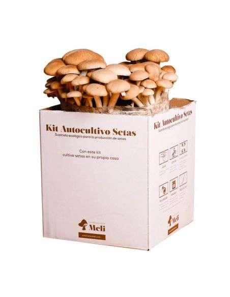Kit Autocultivo Setas de Chopo Ecológico