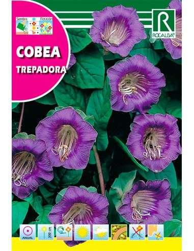 Semillas de Cobea Trepadora Azul violeta