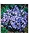 Bulbos Chionodoxa Luciliae Azul 10 ud.