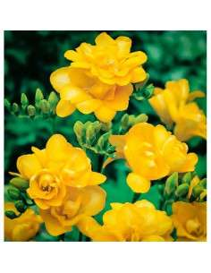 Bulbos Freesia Doble Amarilla 6 ud. INTERSEMILLAS - 1