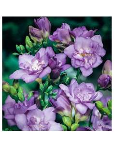 Bulbos Freesia Doble Azul 6 ud. INTERSEMILLAS - 1