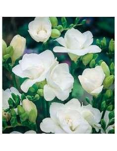 Bulbos Freesia Doble Blanca 6 ud.