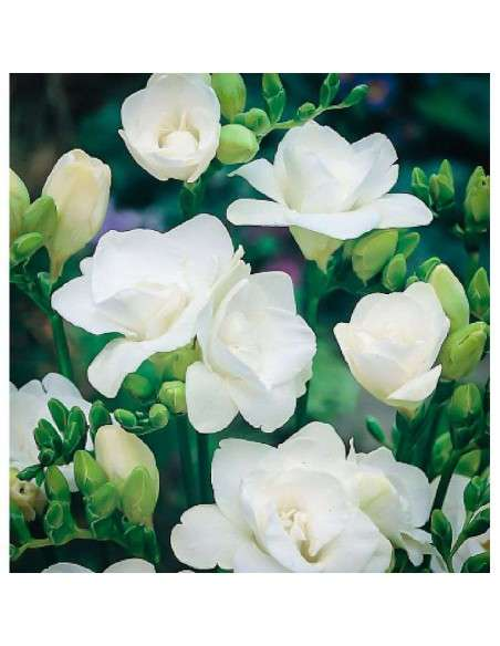 Bulbos Freesia Doble Blanca 6 ud. INTERSEMILLAS - 1