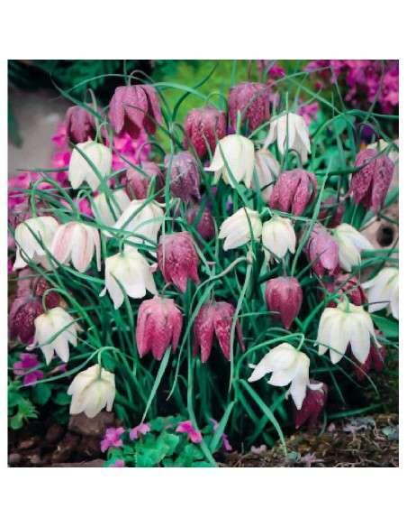 Bulbos Fritillaria Meleagris Mezcla 5 ud. INTERSEMILLAS - 1