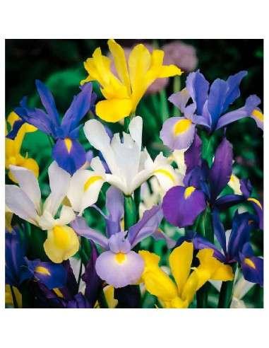 Bulbos Iris de Holanda Mezcla 10 ud.