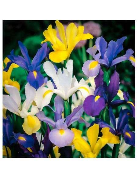 Bulbos Iris de Holanda Mezcla 10 ud. INTERSEMILLAS - 1