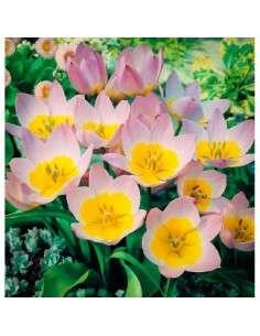 Bulbos Tulipán Barkerii Lilac Wonder 4 ud.