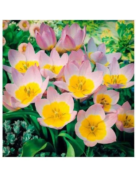 Bulbos Tulipán Barkerii Lilac Wonder 4 ud. INTERSEMILLAS - 1