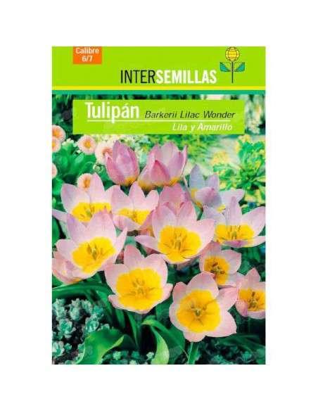 Bulbos Tulipán Barkerii Lilac Wonder 4 ud. INTERSEMILLAS - 2