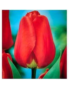Bulbos Tulipán Darwin Rojo 4 ud.
