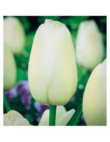 Bulbos Tulipán Darwin Blanco 4 ud.