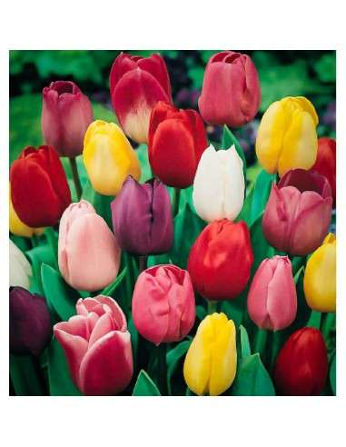 Bulbos Tulipán Darwin Mezcla 4 ud.