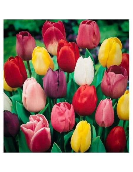 Bulbos Tulipán Darwin Mezcla 4 ud. INTERSEMILLAS - 1