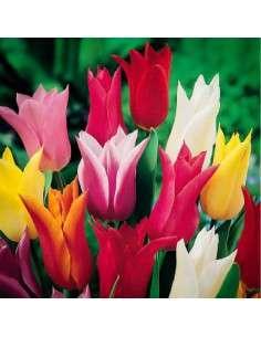 Bulbos Tulipán Flor de Lys Mezcla 3 ud.