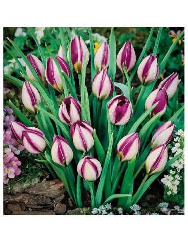 Bulbos Tulipán Humilis Persian Pear 4 ud.