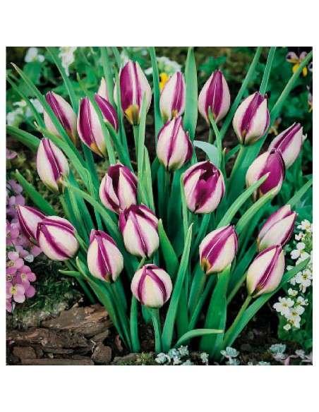 Bulbos Tulipán Humilis Persian Pear 4 ud. INTERSEMILLAS - 1