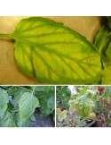 carencia magnesio plantas