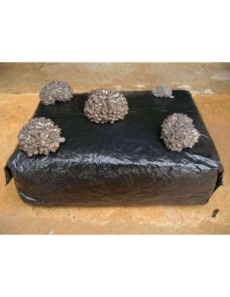 Bala Setas de Pleurotus Ostreatus 17kg. Germinada COCOPOT - 4