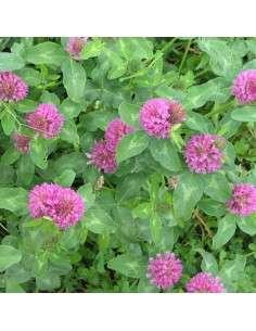 Trifolium Pratense UNO 10kg.