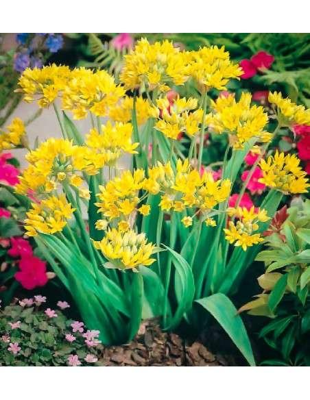 Bulbos Allium Molly Amarillo 15ud. INTERSEMILLAS - 66