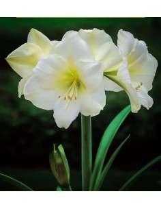 Amaryllis Blanco