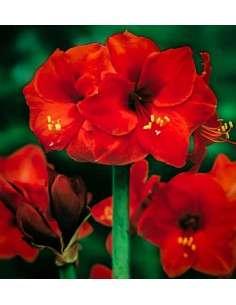Bulbos Amaryllis Rojo 1ud.