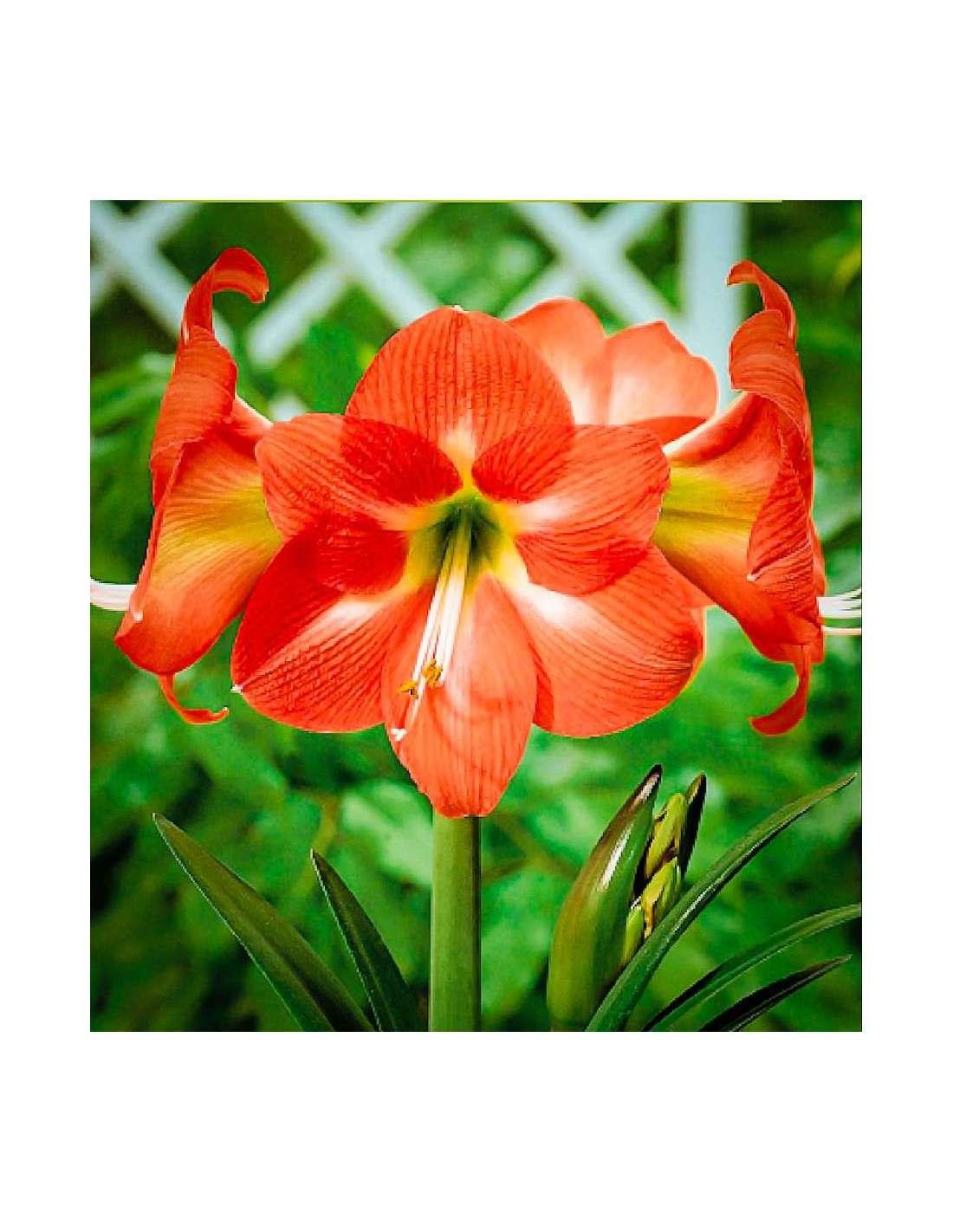 Bulbos amaryllis naranja en cocopot huerto y jard n for Amaryllis jardin