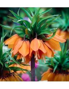 Fritillaria Aurora Naranja