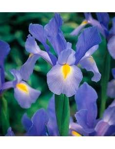 Bulbos Iris de Holanda Azul 10ud.