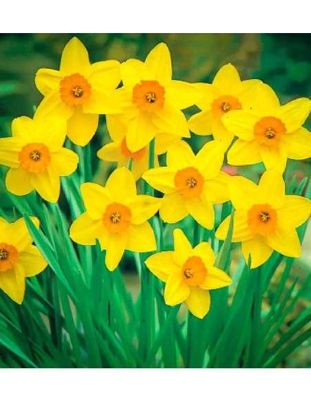 Bulbos Narciso Trompeta Amarillo y Naranja 4ud. INTERSEMILLAS - 1
