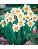 Narciso Trompeta Blanco y Naranja
