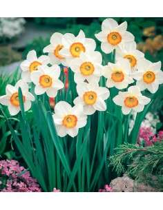 Bulbos Narciso Trompeta Blanco y Naranja 4ud. INTERSEMILLAS - 65