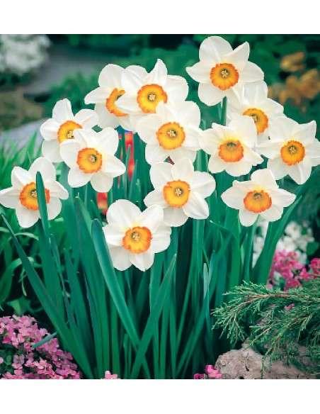 Bulbos Narciso Trompeta Blanco y Naranja 4ud. INTERSEMILLAS - 65