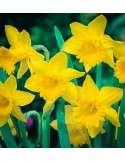 Narciso Trompeta Amarillo