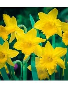 Bulbos Narciso Trompeta Amarillo 4ud.