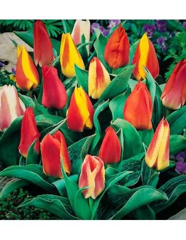 Tulipán Botánico Mezcla