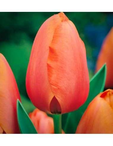 Bulbos Tulipán Darwin Naranja 4ud. INTERSEMILLAS - 54