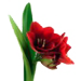 bulbos flores