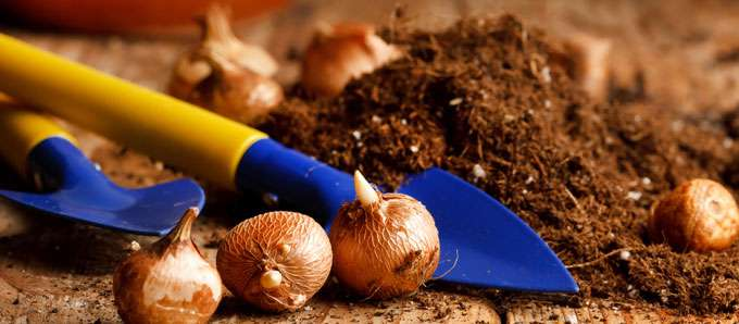 como plantar bulbos