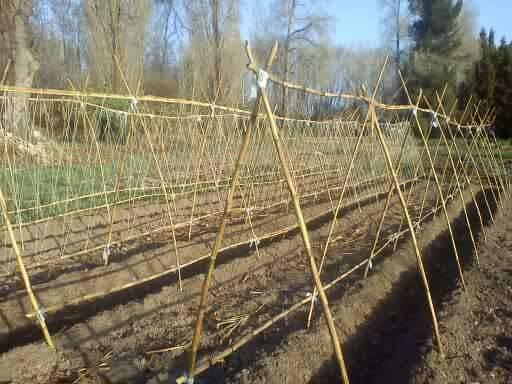 Cultivo de jud as verdes y su cuidado blog cocopot - Cultivar judias verdes ...